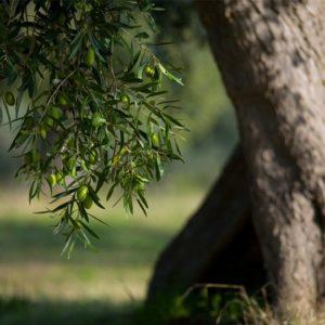 Olivenbaum - Olivenholz-Parkett.de